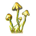 Psilocybe mushrooms